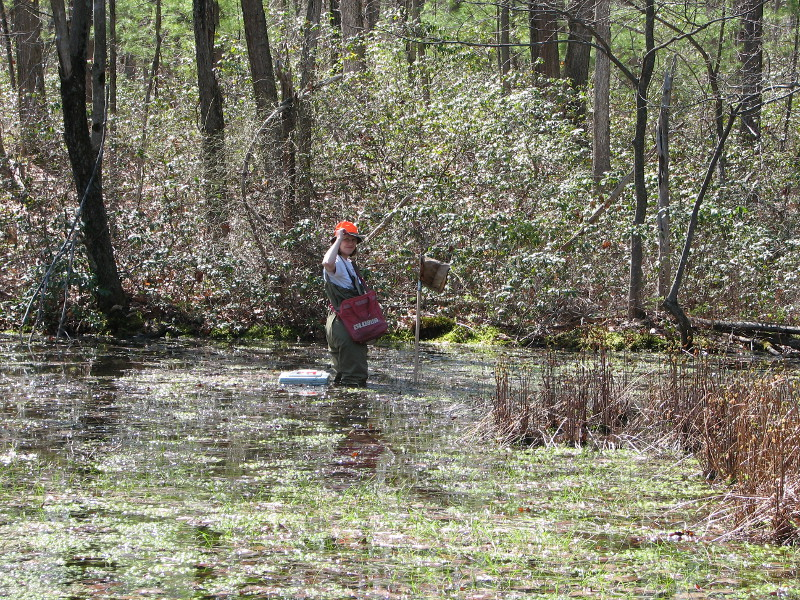 Studying the insects and small animals in a vernal pool involves sampling with a net. Photo Credit: Kathy Gipe